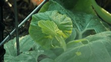 Brand New Leaves Atop A Pumpkin Vine Get Sprayed With Water. The Water Beads Up On The Trellis Behind The Plant And Drips Down. The Tiny Tendrils That Will Soon Anchor The Plant Are Curled Up, Nested.