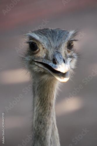 Fotobehang Struisvogel An ostrich at Rome Zoo