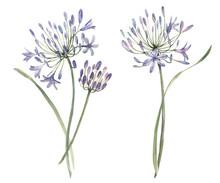 Watercolor Allium Flower Illus...