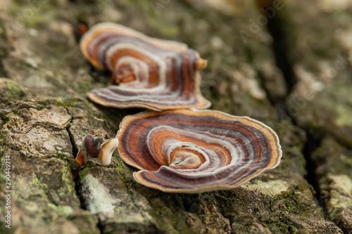 Vászonkép  Turkey Tail Mushroom growing on dead hardwood stump