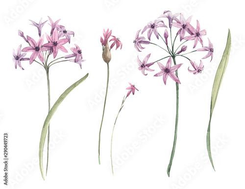 Photo Watercolor allium flower illustration