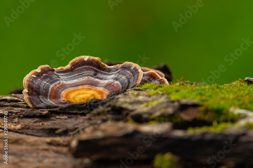 Fényképezés Turkey Tail Mushroom growing on dead hardwood stump