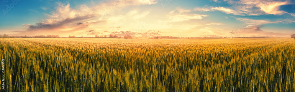 Fototapety, obrazy: Field with ears of wheat at sunset
