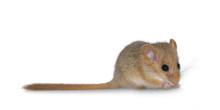 Hazel Dormouse  (Muscardinus Avellanarius), Isolated On White Background