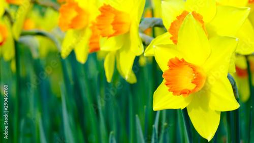 Fotobehang Narcis Daffodil Garden 2