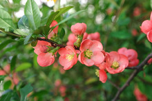 Flowers Quince Closeup. Spring...