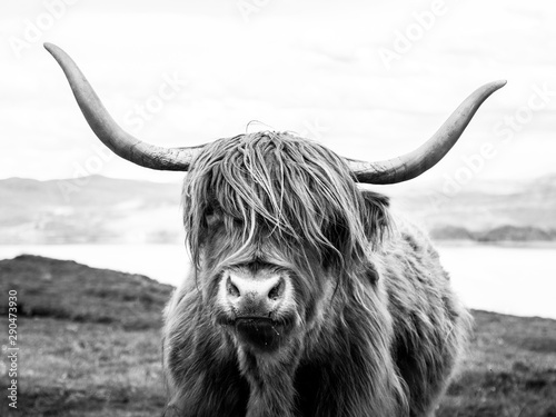 Fotografie, Obraz Highland cattle scottish cow