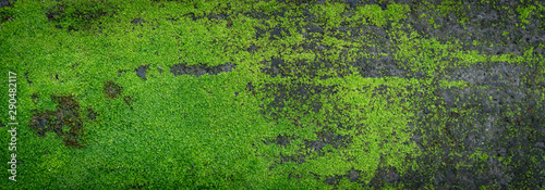 Fototapeta Moss green texture. Moss background. Green moss on grunge texture, background. Long web banner obraz