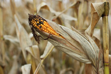 Ripe Corn, Some Grains Of Which Are Infected With Ergot Parasitic Black Fungus