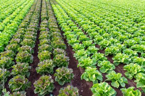 Cuadros en Lienzo Farmers field with growing in rows green organic lettuce leaf vegetables