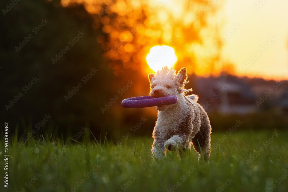 Fototapety, obrazy: spanish water dog running at sunset