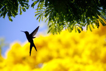 Hummingbird Flying On Yellow I...