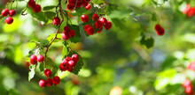 Ripe Hawthorn Or Crataegus Monogyna In Autumn, Closeup. Autumnal Red Berries, Panoramic View