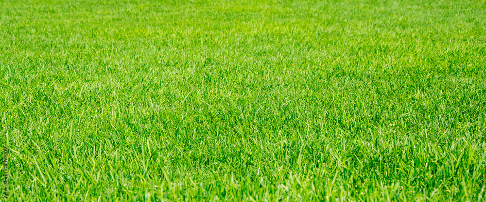 Fototapeta Green grass background in a sunny day