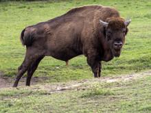 The European Bison, Bison Bona...