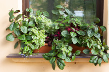Various Garden Ornamental Plants Planted Together In A Flowerpot In A Flower Arrangement And Grow By The Window Of A House On A Summer Day. Ptectrantus And Coleus In Composition.