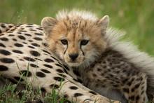 Cheetah Cub Lies Beside Mother In Grass