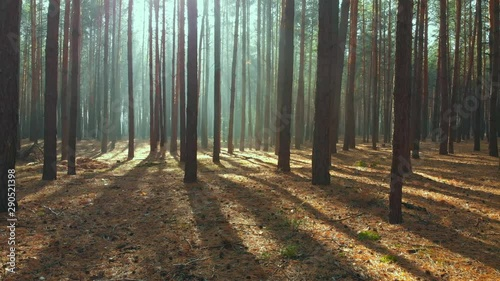 Drone flying through beautiful pine forest in morning. Sun rays shining through early mist. Scenic autumn forest - 290521398