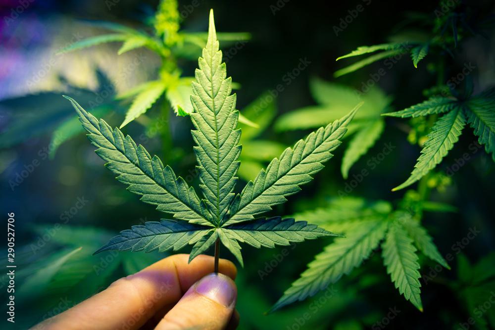 Fototapety, obrazy: marijuana medical leaf in hand, cannabis cultivation