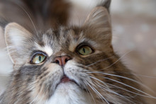 Maine Coon Face Close Up