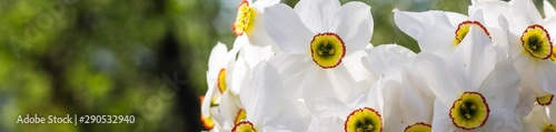 Montage in der Fensternische Narzisse banner of Bouquet of small white daffodil
