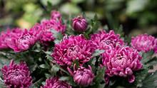 Pink Chrysanthemum Flowers Bloom