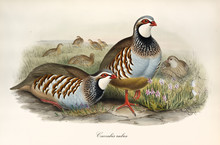 Couple Of Partridges And Other Exemplars Little Far In The Grass. Vintage Style Detailed Watercolor Illustration Of Red-Legged Patridge (Alectoris Rufa). By John Gould Publ. In London 1862 - 1873