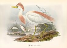Cattle Egret, Profile View Dis...