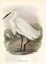 Little Egret Walking Trough A Water Surface Belonging To A Pond. Vintage Watercolor Style Illustration Of Little Egret (Egretta Garzetta). By John Gould Publ. In London 1862 - 1873