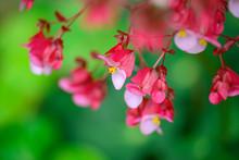 Begonia X Hybrida ( Dragon Wing Begonia ) Flowers.