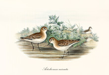 Couple Of Little Stint (Calidris Minuta) Birds Walking In The Low Water Of A Little Pond Or Creek. Both With A Brown Black Dotted Plumage. Detailed Vintage Art By John Gould London 1862 - 1873