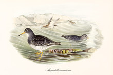Two Brownish Purple Sandpiper ...