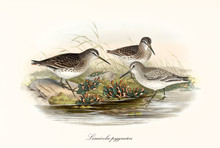 Three Bird Called Broad-Billed...