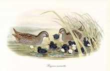 Couple Of Spotted Crake (Porzana Porzana) Birds Fooding Their Black Plumage Children In The Water Of A Pond Surrounded By Aquatic Vegetation. Detailed Vintage Art By John Gould, London 1862 - 1873