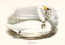Profile Of A Swan Called Whooper Swan (Cygnus Cygnus) Swimming To Right In The Water And Carrying Or Eating Aquatic Vegetation With Its Beak. Detailed Vintage Art By John Gould In London 1862 - 1873