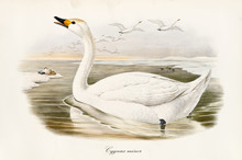 Swan Called Bewick's Swan (Cygnus Bewickii) Making Its Cry In The Winter Water While A Flock Of Other Exemplars Flyes Down In The Sky. Snowed Shores. Vintage Art By John Gould In London 1862 - 1873