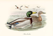 Mallard (Anas Platyrhynchos) Aquatic Bird Swimming In The Water To The Right With Another Exemplar While A Flock Flyes Far On Background. Detailed Vintage Art By John Gould Publ. In London 1862 - 1873
