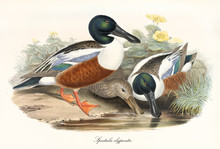 Various Exemplars Of Northern Shoveler (Spatula Clypeata) Aquatic Bird With Its Multicolored Brown Tones Plumage. Detailed Vintage Style Watercolor Art By John Gould Publ. In London 1862 - 1873