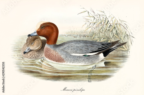 Couple of aquatic birds called Eurasian Wigeon (Mareca penelope) Canvas Print