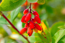 Berry Bunch Of Barberry On A Branch. Berberis - Goji Berries Are Nutritional And Medicinal Fruit Of The Tree.
