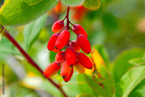 Photo Berry bunch of barberry on a branch