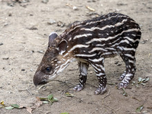 Young South American Tapir, Tapirus Terrestris Is Spotted