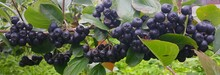 Branch Of Aronia Berries