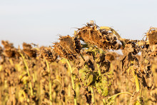 Withered Sunflowers In The Aut...