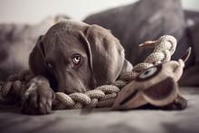 Dog Starring At Camera With Sa...