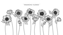 Anemone Flower And Leaf Drawing Illustration With Line Art On White Backgrounds.