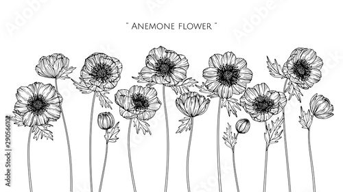 Photo Anemone flower and leaf drawing illustration with line art on white backgrounds