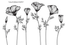 California Poppy Flower And Leaf Drawing Illustration With Line Art On White Backgrounds.