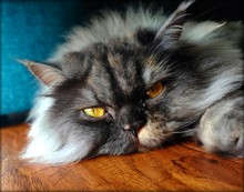 Portrait Of Long Haired Cat Laying On Wooden Floor