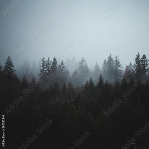 Aerial view of pine trees - 290582546